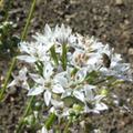 Alliaceae natürliches Potenzmittel bei Erektionsstörungen