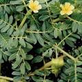 Tribulus Terrestris natürliches Potenzmittel bei Erektionsstörungen