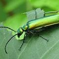 Spanische Fliege natürliches Potenzmittel bei Erektionsstörungen