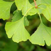 Ginkgo Pflanzliches Potenzmittel